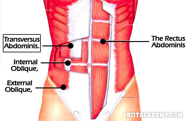 Transverse Abdominis Picture